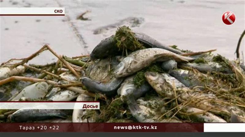 Тысячи карасей в СКО погибли из-за нехватки кислорода