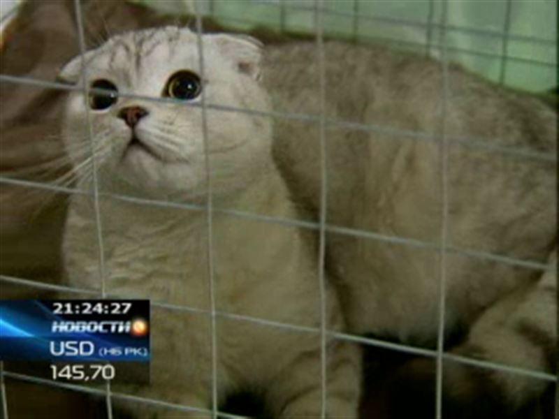 Международные эксперты приехали в Алматы, чтобы выбрать лучших в городе кошек
