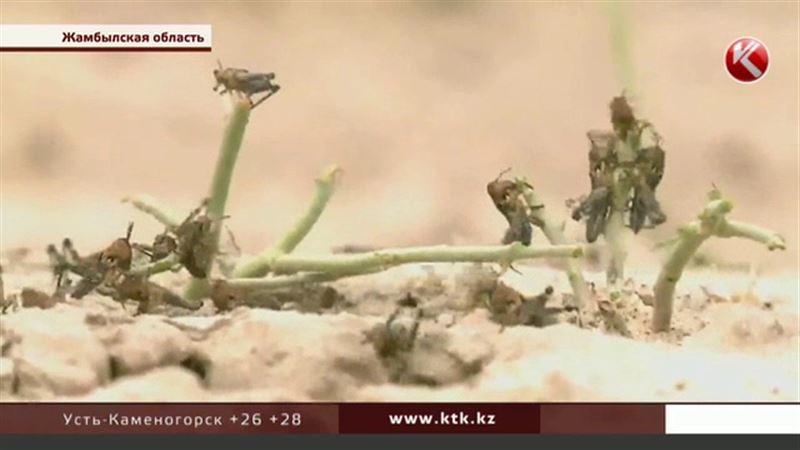 Фермеры Жамбылской области требуют срочно начать борьбу с саранчой
