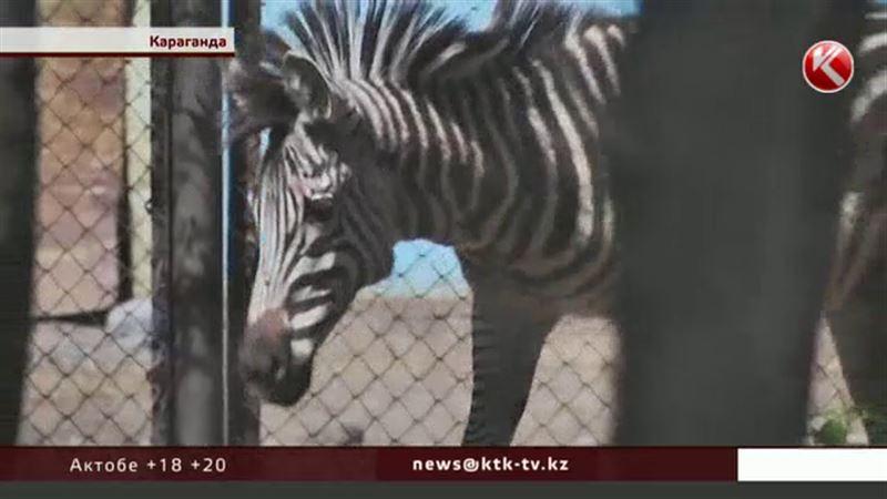 В Карагандинском зоопарке впервые появилась зебра