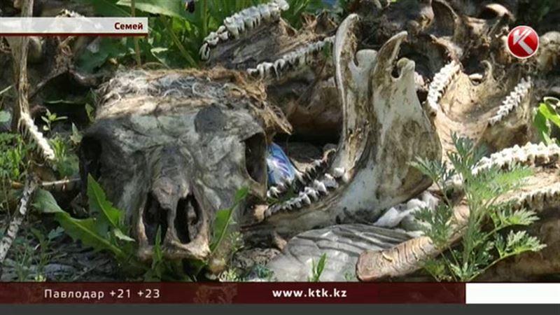 На набережной Семея гниют останки животных