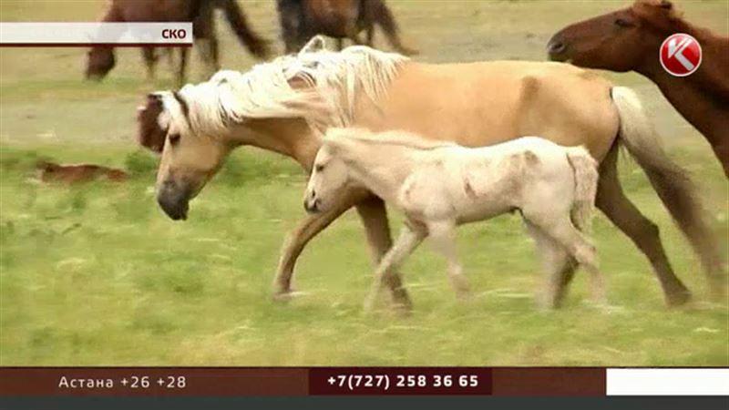 Североказахстанские крестьяне разорены: украдено 300 лошадей