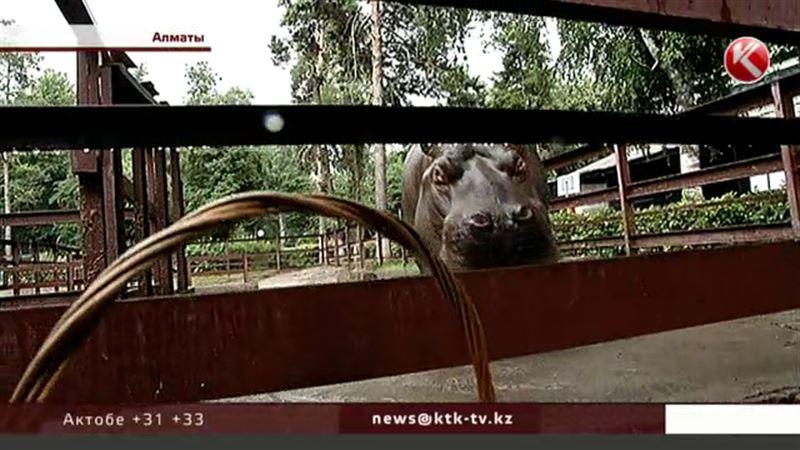 Бегемоту Жанболату из Алматинского зоопарка нашли французскую невесту