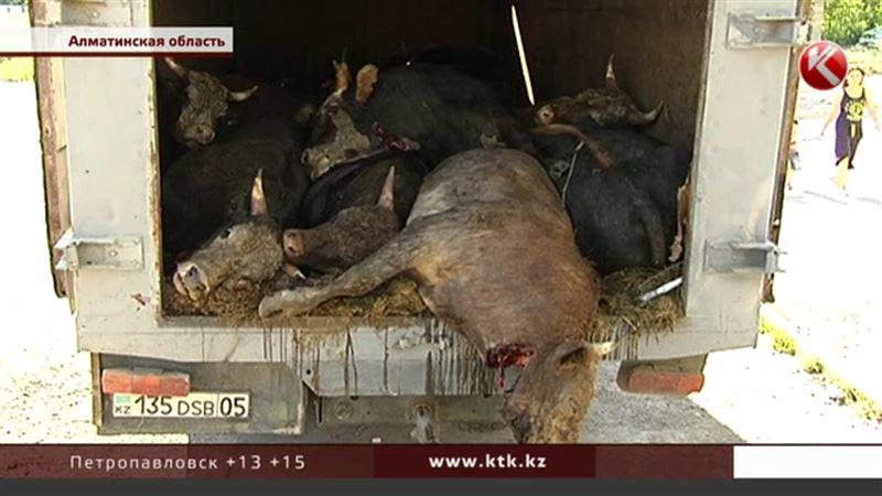 Почти двадцать быков задохнулись, пока полиция и ветврачи разбирались с документами