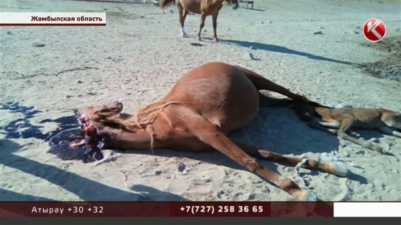 В Жамбылской области боролись с саранчой, а погиб скот