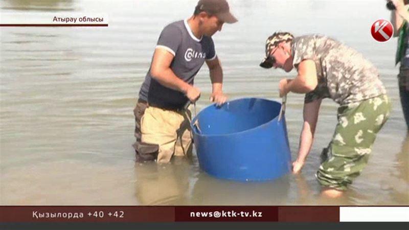 Атырау облысында еріктілер мыңдаған шабақты қырылудан құтқарып қалды