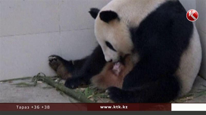 Рождение гигантской панды стало праздником в зоопарке Китая