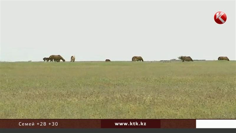 Шығыс Қазақстан облысында шегіртке қаптап кетті