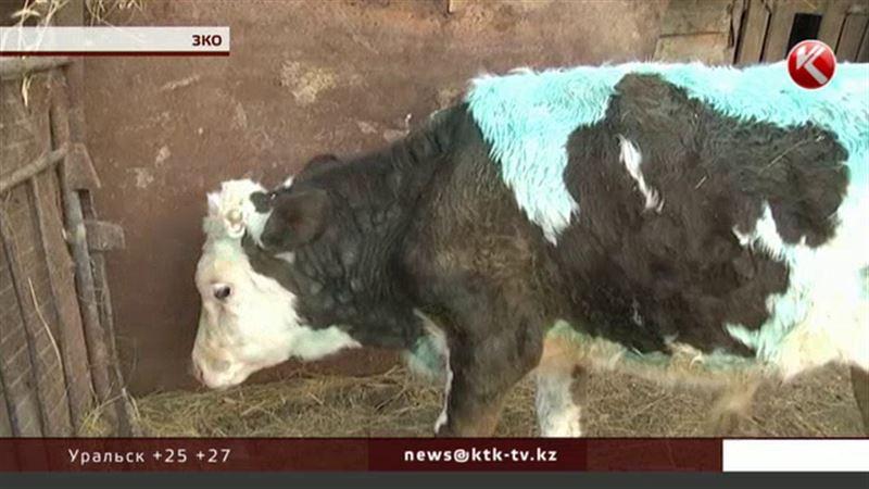 Сельчане ЗКО выливают всё молоко из-за неизвестной инфекции