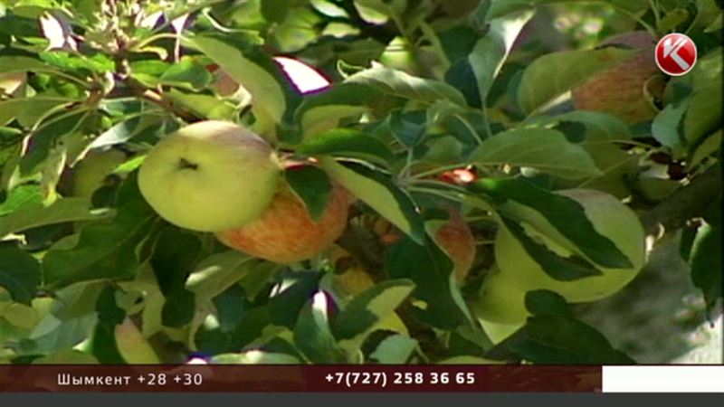 Казахстан признали родиной всех современных сортов яблок