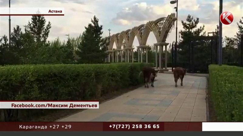 Коровы совершили променад по левобережью Астаны