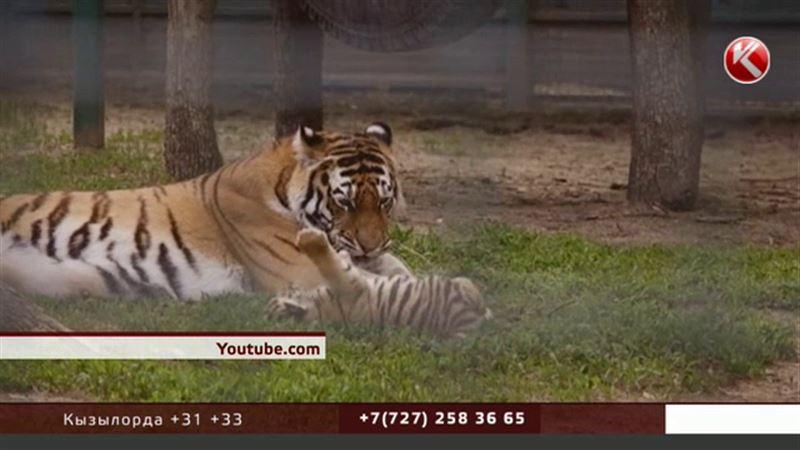 В Казахстан хотят вернуть диких тигров