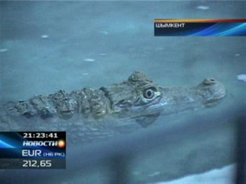 Необычным способом в шымкентский зоопарк доставили нильского крокодила