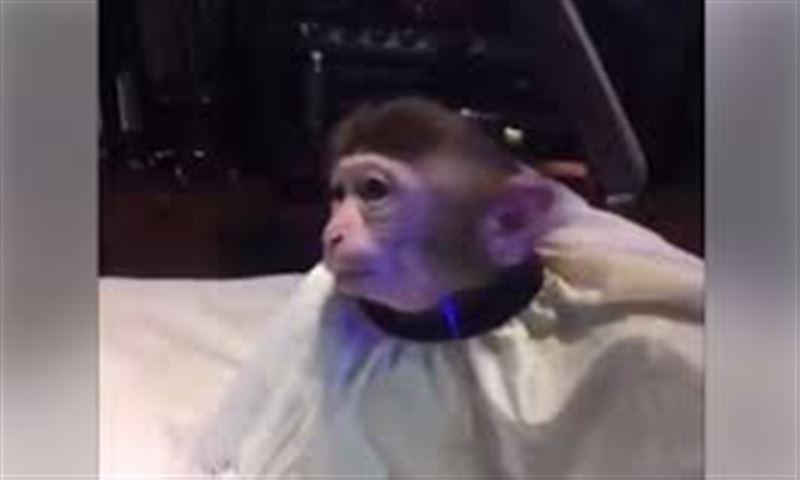 """Видео с обезьяной в салоне красоты """"взорвало"""" интернет"""