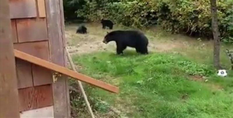 В Канаде мужчина вежливо попросил медведей уйти со своего двора