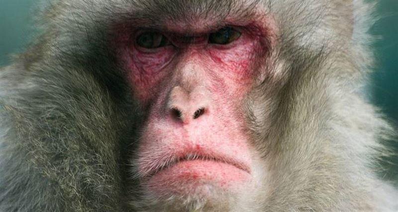 Обезьяны оторвали ухо и пальцы сотруднику зоопарка