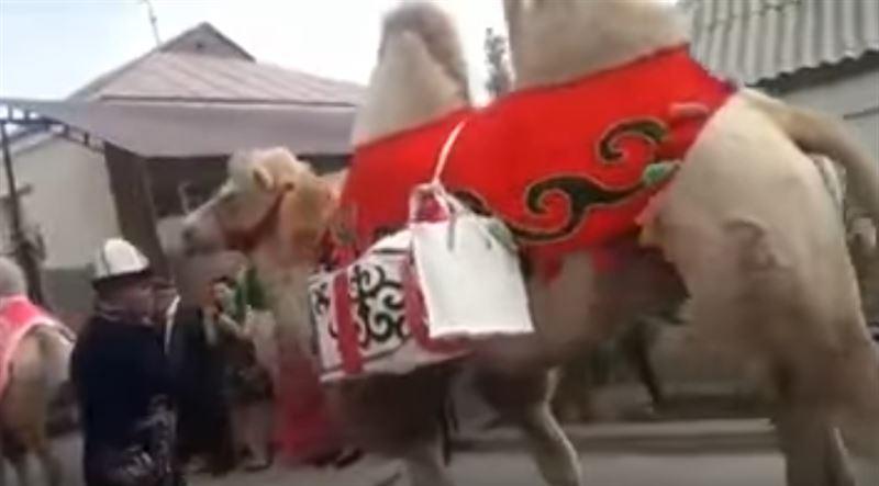 Свадьба на верблюдах в Шымкенте удивила пользователей Казнета