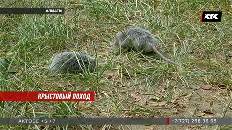 Эпидемиологи и санврачи Алматы начали охоту на крыс