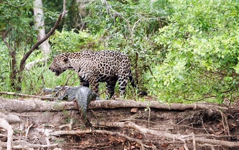 В Бразилии очевидцы сняли смертельную схватку ягуара с кайманом