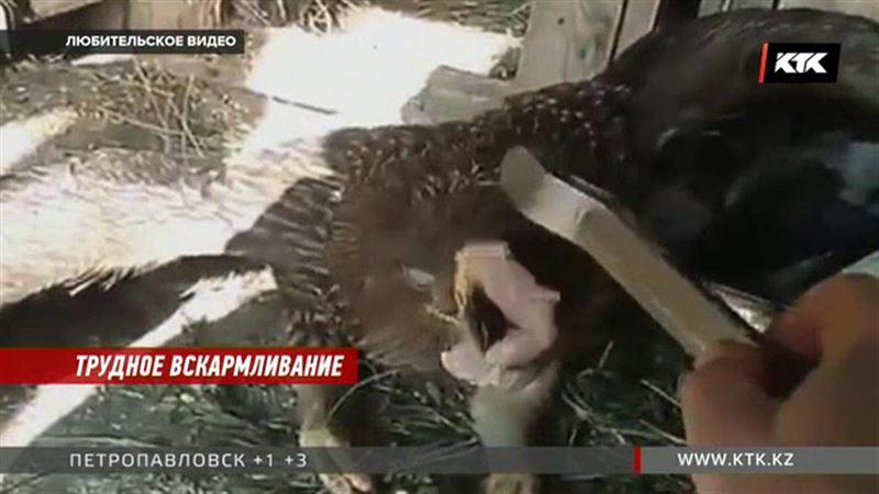 Приюту для животных нужны перья и мыши, чтобы накормить орла