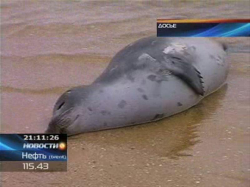 В Мангистауской области снова гибнут тюлени