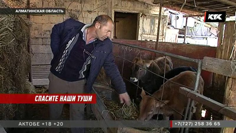 От желтухи массово гибнет скот в Алматинской области