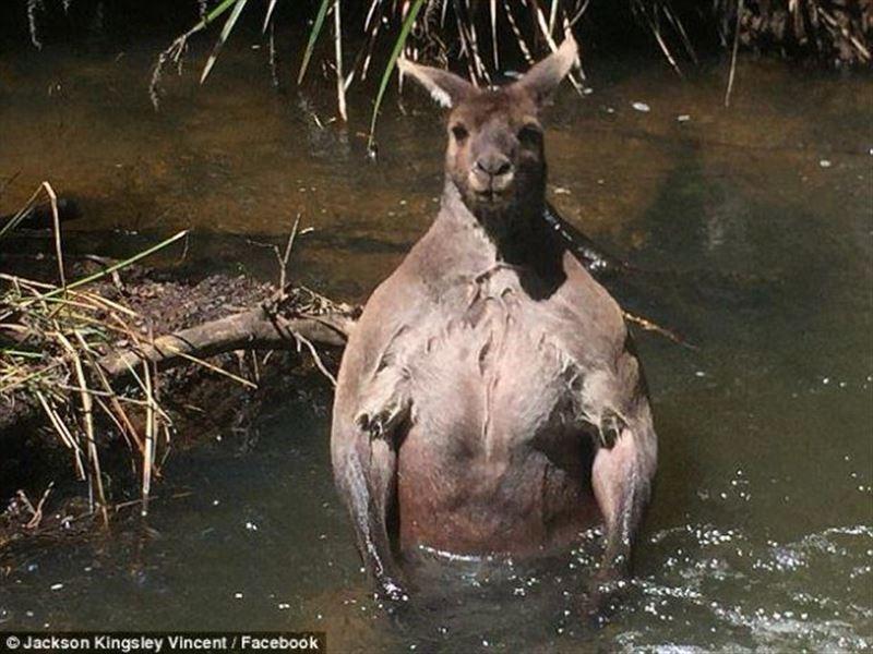 ФОТО: Необычного кенгуру обнаружили в местной реке в западной части Австралии
