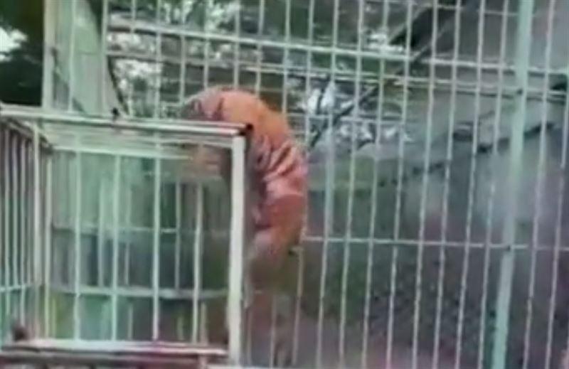 Тигренок устроил побег из вольера
