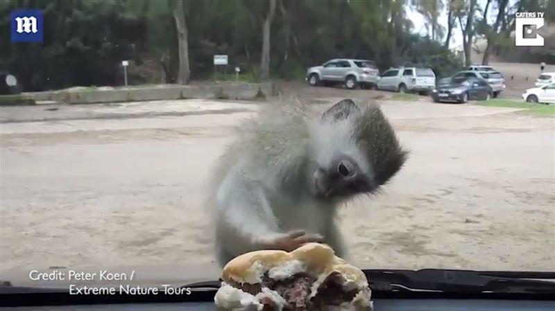 Стекло автомобиля не позволило мартышке украсть гамбургер