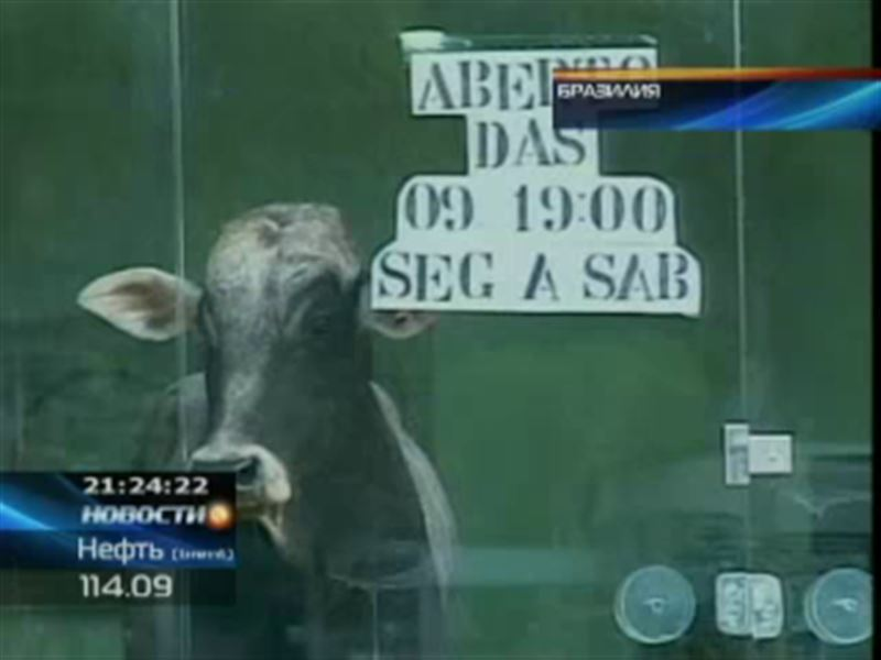 В бразильский магазин женской одежды ворвался бык