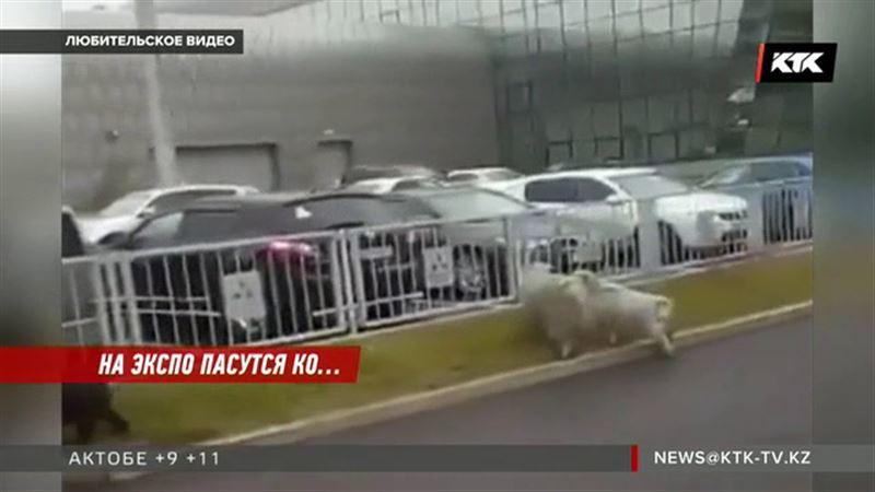 На газонах ЭКСПО пасутся козы