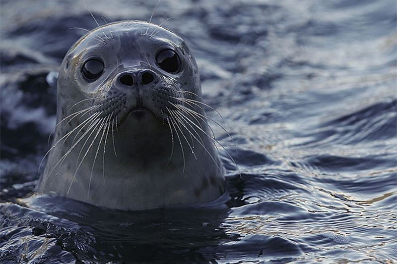 13 тюленей было спасено морскими пограничниками в Каспийском море