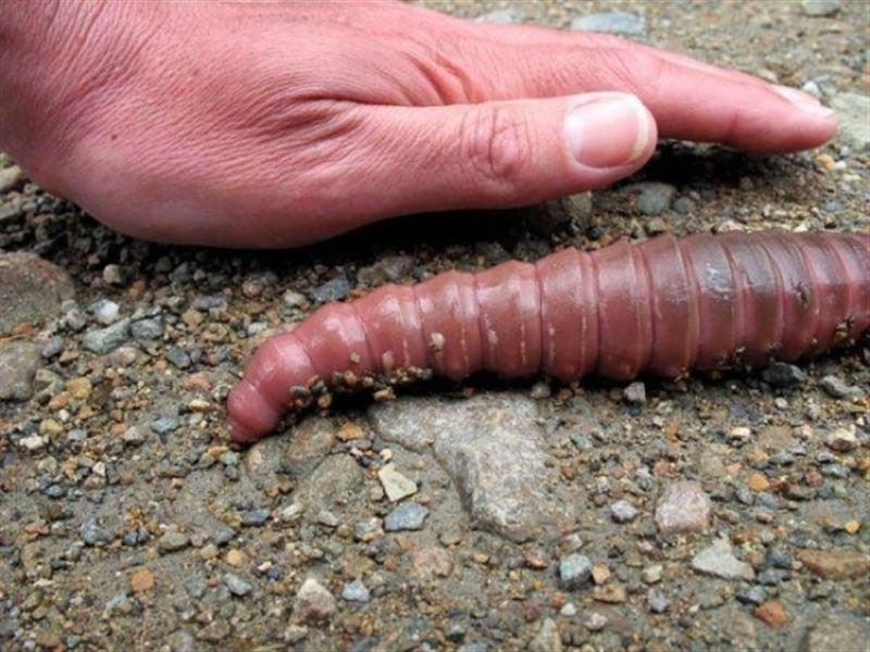 Самый большой и удивительный в мире дождевой червь найден в Австралии