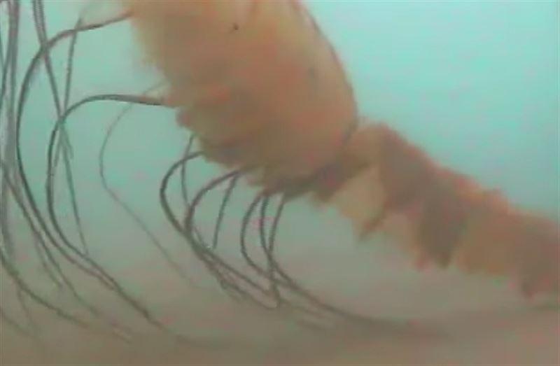 ВИДЕО: Исследователи показали жуткую арктическую медузу