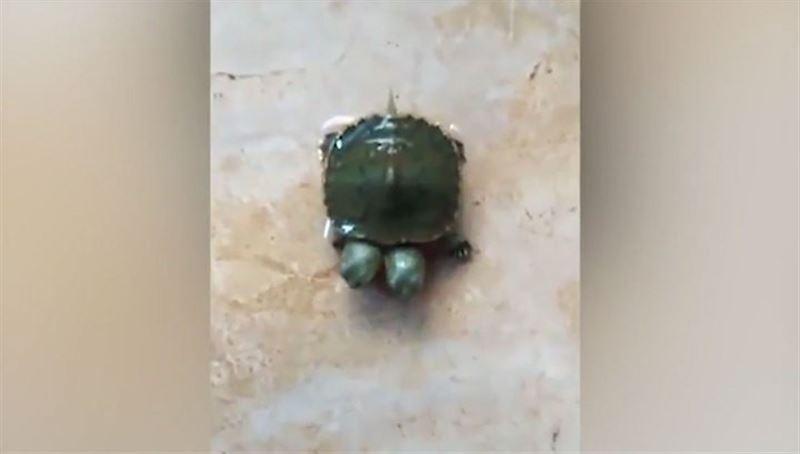 В Таиланде родилась черепаха-мутант с двумя головами