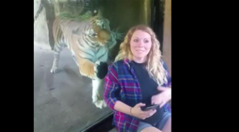 Пользователей соцсетей растрогало видео, как тигр прижался к животу беременной женщины