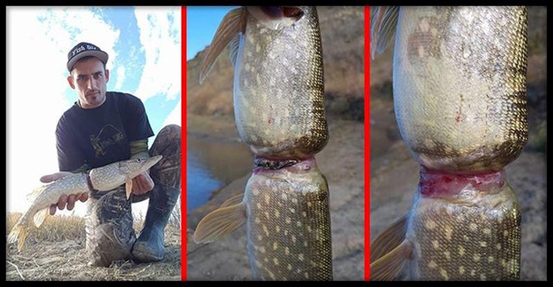 ФОТО (18+): Кольцо от бутылки почти разрезало рыбу пополам