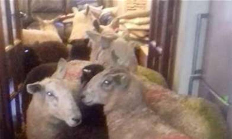 ВИДЕО: В Великобритании собака-пастух загнала стадо овец на кухню