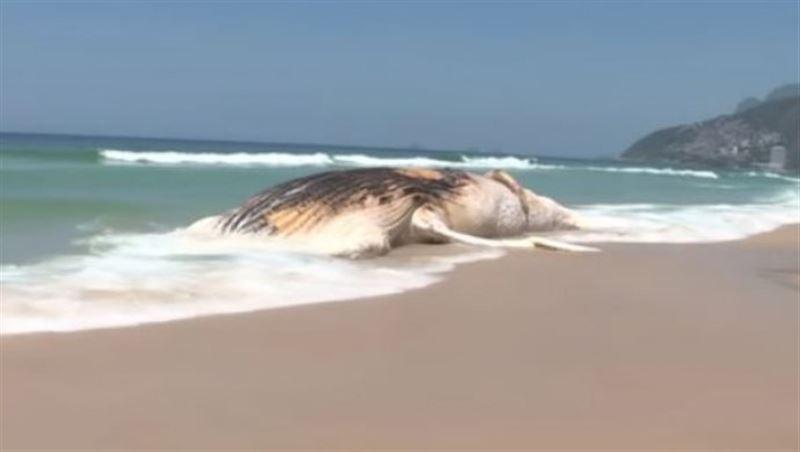 30-тонного кита выбросило на бразильский берег
