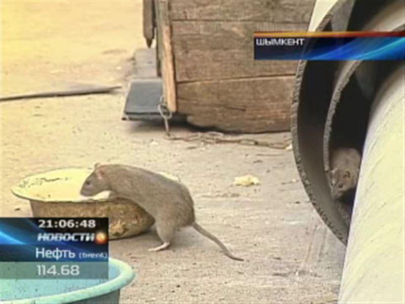 Популяция крыс в Шымкенте достигла катастрофических размеров