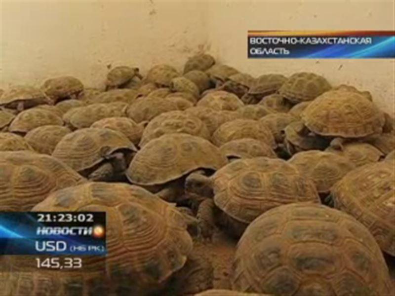 В Жамбылской области отловленных черепах выпустили на волю