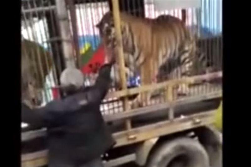 На видео попало нападение тигра на пенсионера