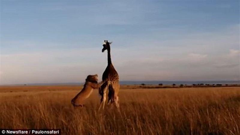 Жестокую схватку детеныша жирафа со львом сняли на видео