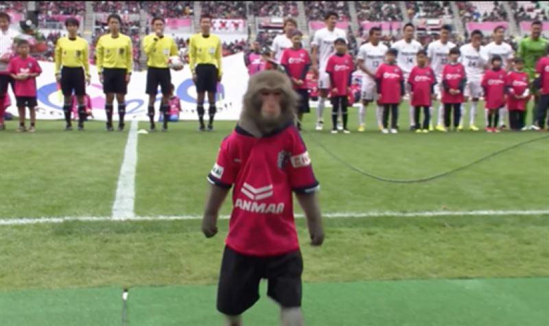 В Японии обезьяна помогла судье начать поединок