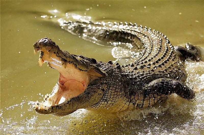 В Сети появилось видео нападения крокодила на туристку в Австралии