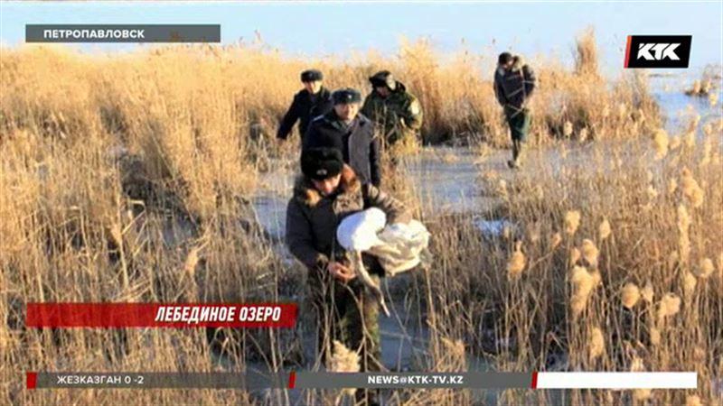 В Северном Казахстане спасли уже 17 лебедей