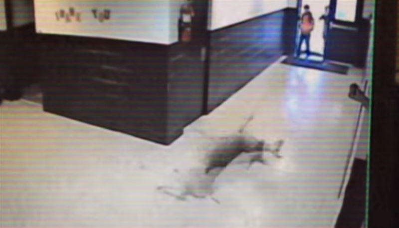 ВИДЕО: скользящий олень в школьном коридоре
