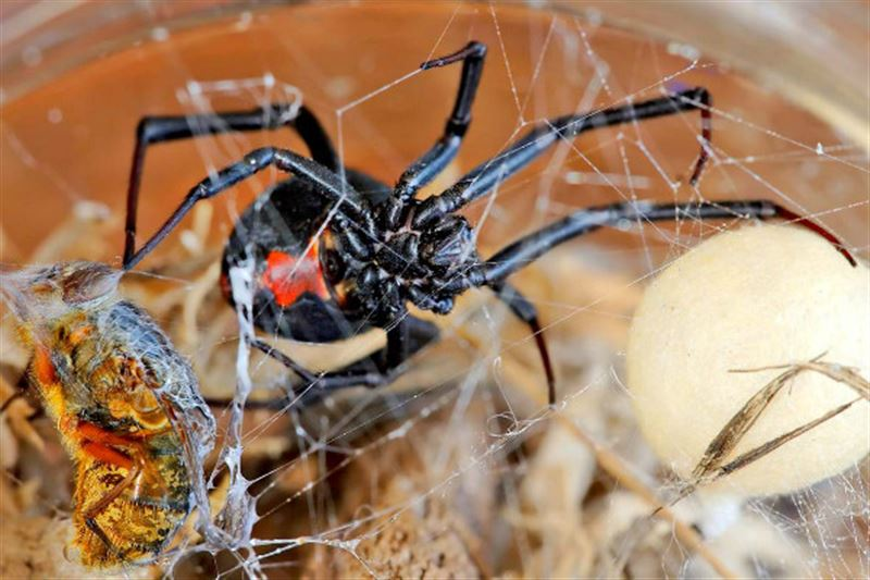 В Австралии выпал дождь со смертельными пауками