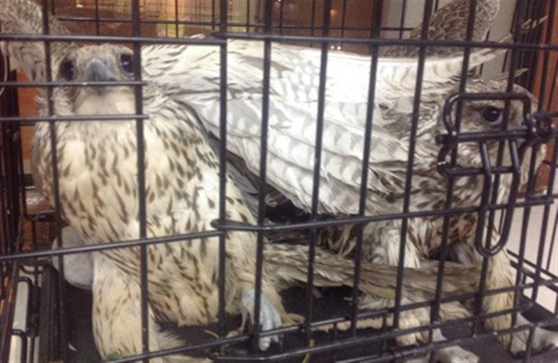 В Алматы пресекли попытку незаконного вывоза краснокнижных соколов