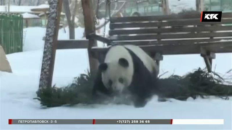 Панда пришла в восторг от снега